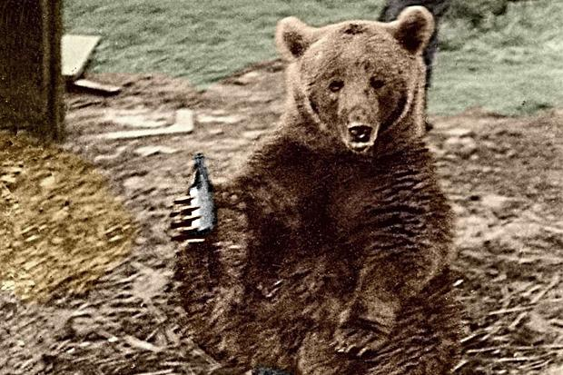 Wojtek, the bear, enjoying a beer.